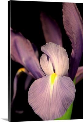 Sweet Iris II