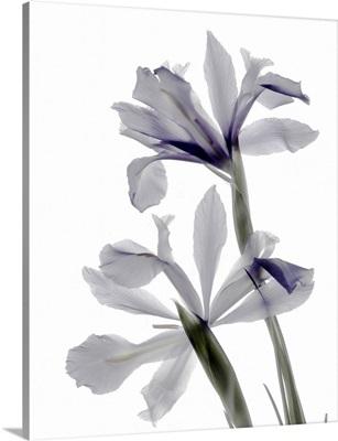 Xray Iris