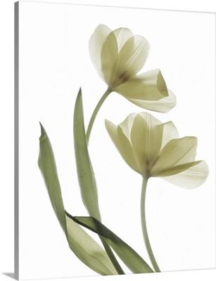 Xray Tulip I