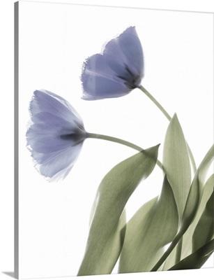 Xray Tulip III