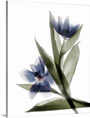 Xray Tulip VI