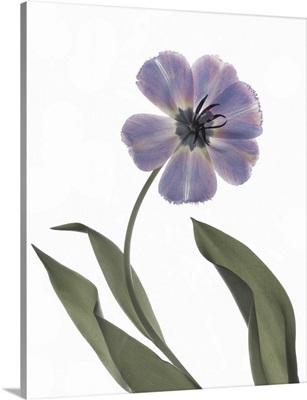 Xray Tulip X