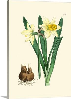 Yellow Narcissus II