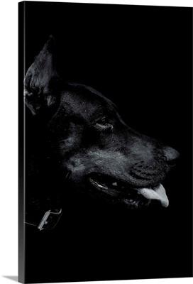 Dark Doberman