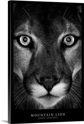 Mountain Lion Black