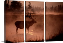 Bull elk in the early morning, Yellowstone National Park, Wyoming