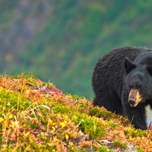 A black bear foraging for berries on a hillside near the Harding Icefield Trail