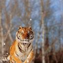 Alaska, Siberian Tiger (Panthera Tigris Altaica) Charging Through Winter  Snow