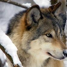An Adult Gray Wolf, Southcentral Alaska