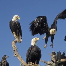 Bald Eagles congregate on the Homer Spit Alaska winter Kenai Peninsula