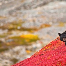 Black bear foraging for berries on a bright red patch of tundra