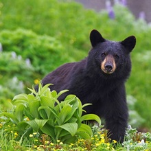 Black Bear, Harding Icefield Trail, Kenai Fjords National Park, Southcentral Alaska