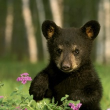 Captive Black Bear Cub Playing In Flowers Minnesota