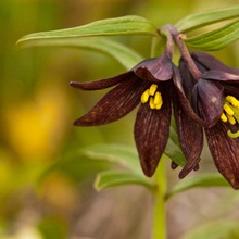 Close up of Chocolate Lily blooms in the Eklutna Flats