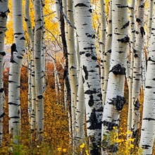 Colorado, Steamboat, Aspen Tree Trunks In Grove With Yellow Autumn Leaves