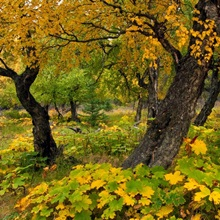 Cottonwood trees and Devil's Club turning shades of yellow in Kincaid Park