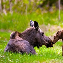 Cow And Calf Moose In Grass, Kincaid Park, Anchorage, Alaska