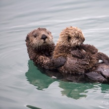Female Sea otter holds newborn pup while floating in Prince William Sound