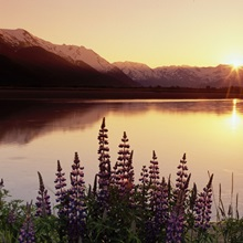 Lupine at Sunset Along Turnagain Arm Chugach NF AK