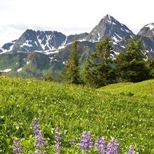 Lupine wildflowers in high alpine meadow on Eagle Peak Admiralty Island Southeast Alaska