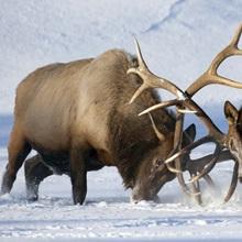 Roosevelt elk fight during rut season, Alaska Wildlife Conservation Center