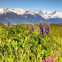 Scenic view of a wildflower meadow and mountains near Haines, Alaska during Summer
