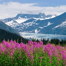 Scenic view of Mendenhall Glacier with Fireweed, Tongass National Forest
