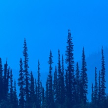 Spruce Trees in Haze from Forest Fire AK Summer 
