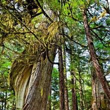 Steps lead up moss draped twisting tree along Lunch Falls Loop Trail, Ketchikan, Alaska