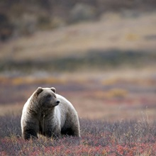 View of a Grizzly Bear standing in the fall tundra Denali National Park