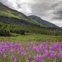 View of fireweed blooms in Turnagain Pass Kenai Peninsula