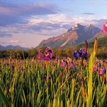 Wild Iris Blooming in Front of Pioneer Peak SC Alaska Summer Mat-Su Valley