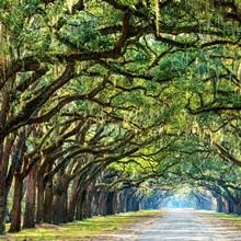 Savannah, Georgia, oak tree lined road