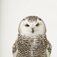 Elmwood, Nebraska. A female snowy owl, Bubo scandiacus, at Raptor Recovery Nebraska