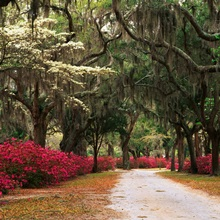 Georgia, Savannah, Road lined with azaleas and live oaks and Spanish moss