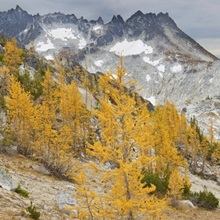 Panorama of golden larch (Larix lyallii) from Prusik Pass, Washington