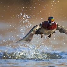 Washington State, Wood Duck, male, flight take-off