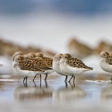 Western Sandpipers rest at high tide during spring migration