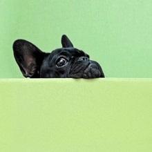 French bulldog puppy peeking over a wall