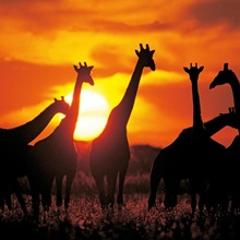 Giraffe herd in silhouette against sunset , Botswana, South Africa