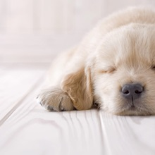 Golden retriever sleeping on floor