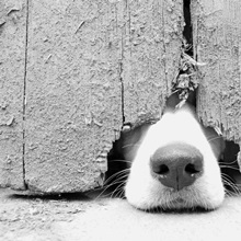 Hunting puppy pokes nose out from under the barn door.
