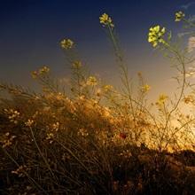 Poppy under sunset light.