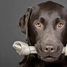 Studio portrait of chocolate labrador carrying bone in mouth