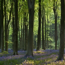 Bluebells and beech trees, West Woods, Marlborough, Wiltshire, England