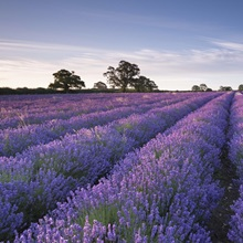 Lavender field at dawn, Somerset, England