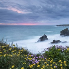 Wildflowers on the clifftops above Bedruthan Steps, Cornwall, England