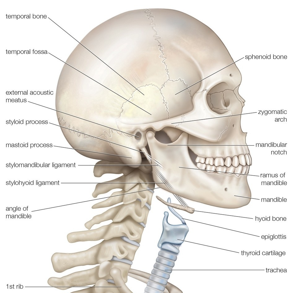 Bony Framework Of Head And Neck Skeletal System Wall Art Canvas