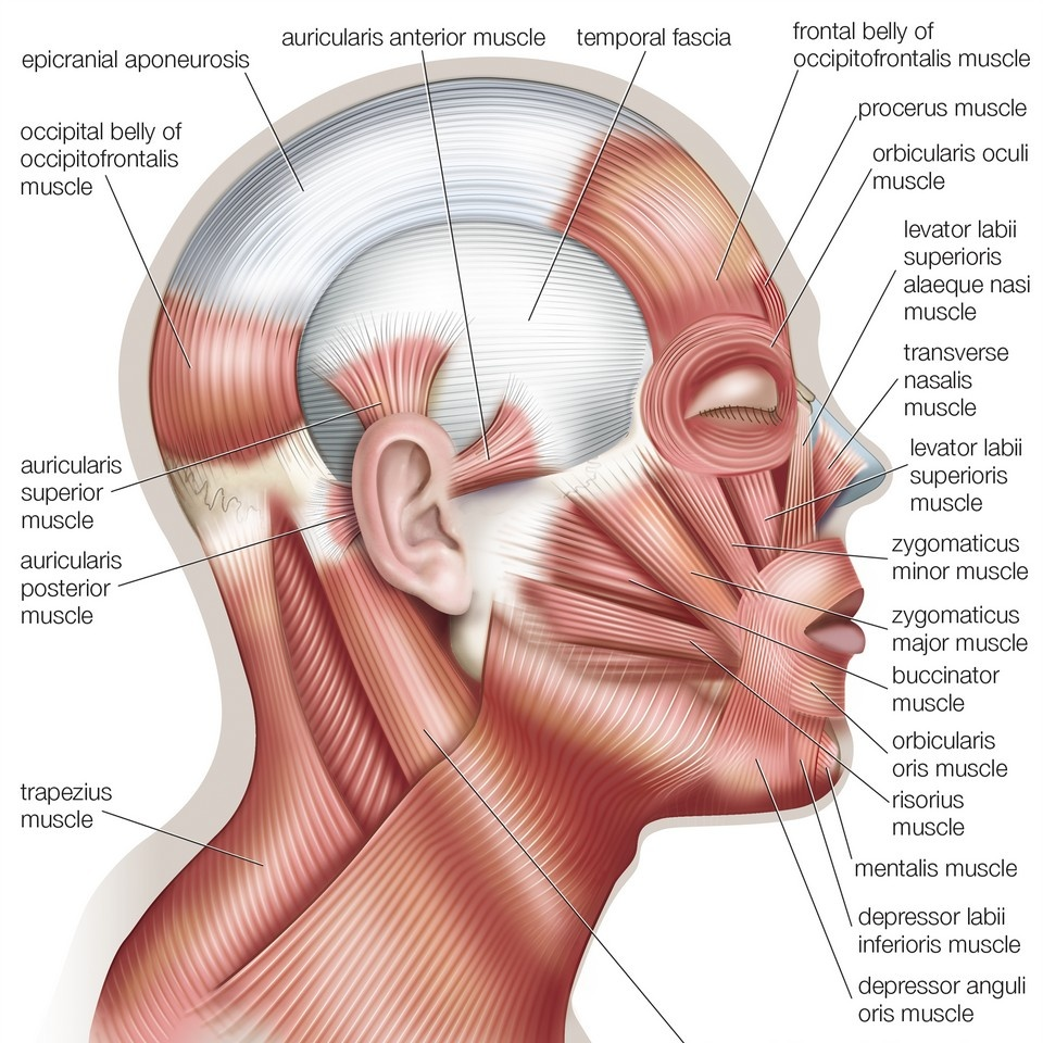 Muscles Of The Face And Head Lateral View Wall Art Canvas Prints