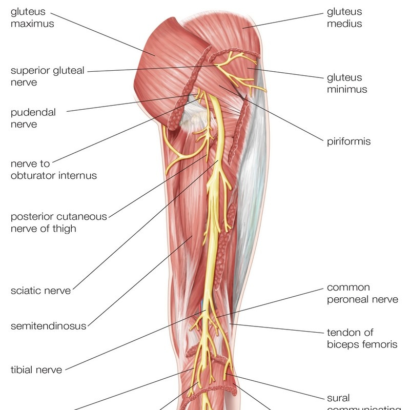 Nerves Of The Right Leg Posterior View Nervous System Wall Art